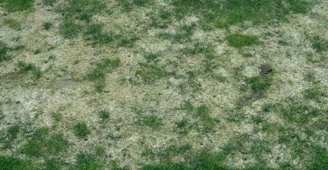 græsplæne angrebet af sneskimmel