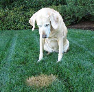 Gule pletter fra hundetis