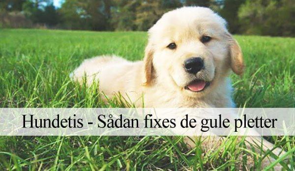 Reparere gule plette fra hundetis