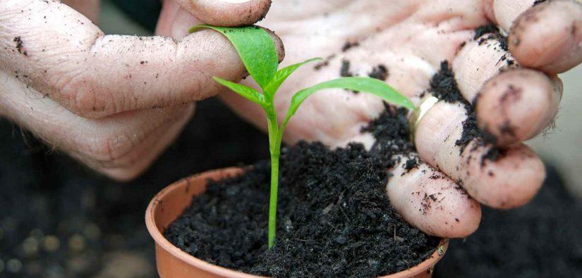 Omplantning af chili