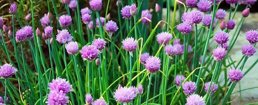 Purløg med blomster
