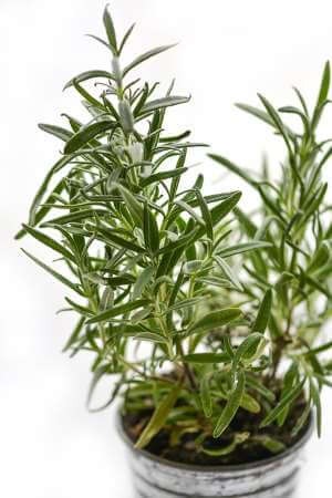 Rosmarinplante til vindueskarm