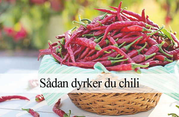 Chili dyrkning guide