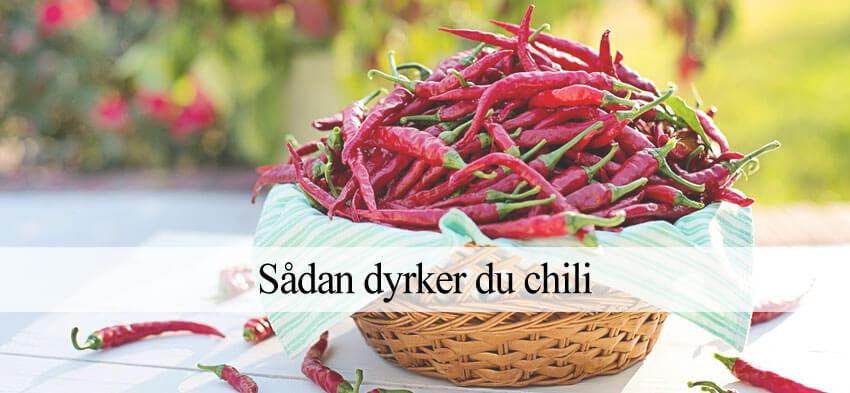 Chili dyrkning guide