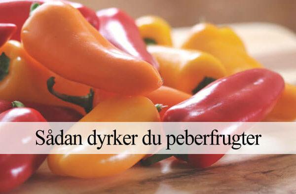 Peberfrugt dyrkning