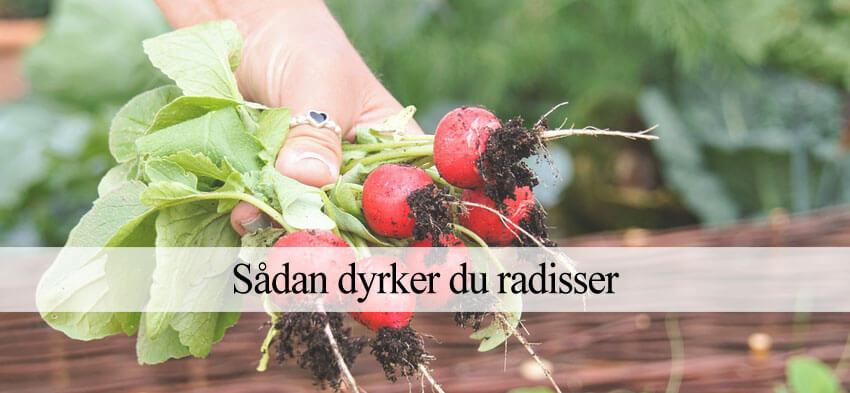 Radise dyrkning
