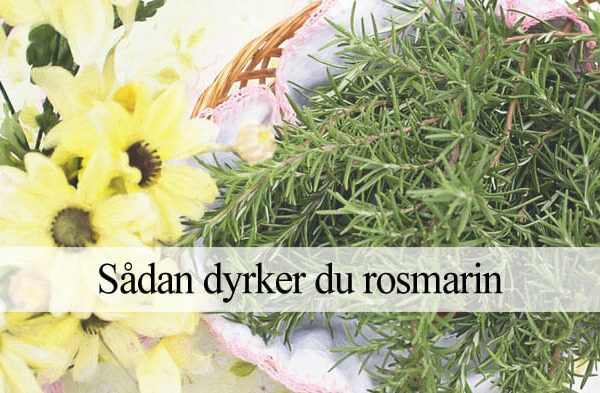 Rosmarin dyrkning