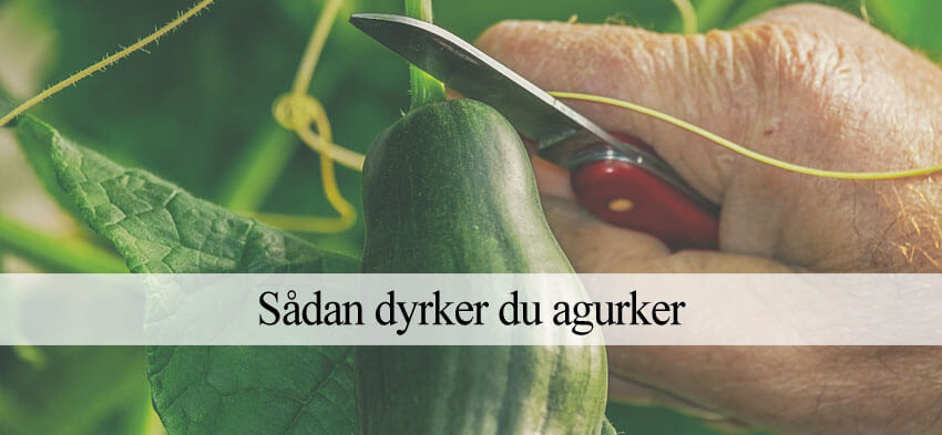 Agurker dyrkning