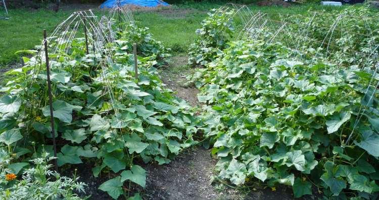 Opbindning af agurker udendørs