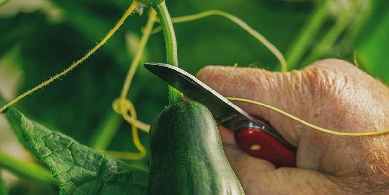 Agurker høst