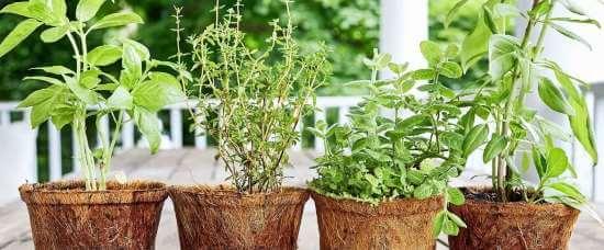 dyrkningsvejledning krydderuter