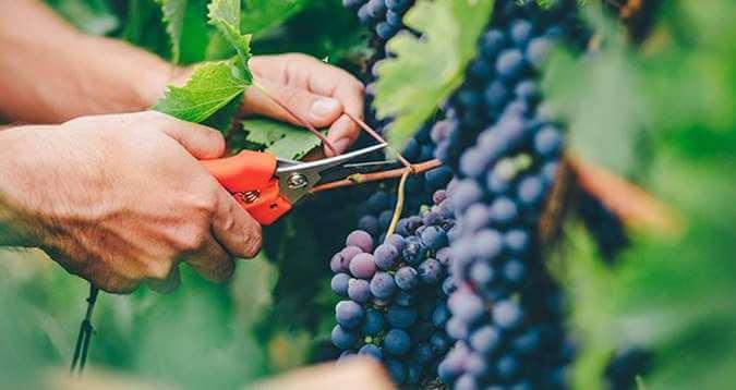 Vindrue beskæring og høst