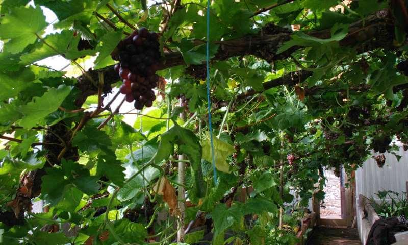 Vindruer i drivhus