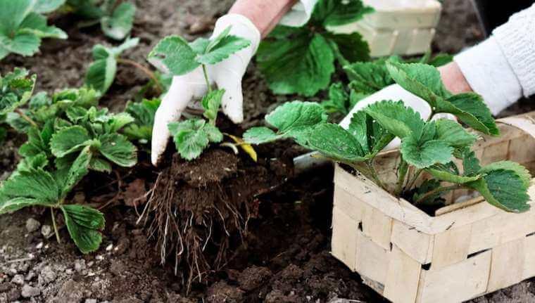 Udplantning af jordbær