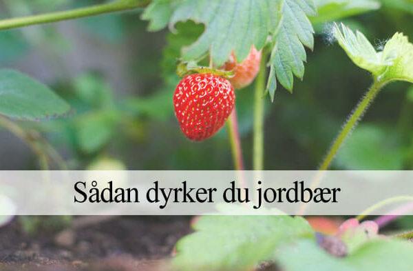 jordbær dyrkning