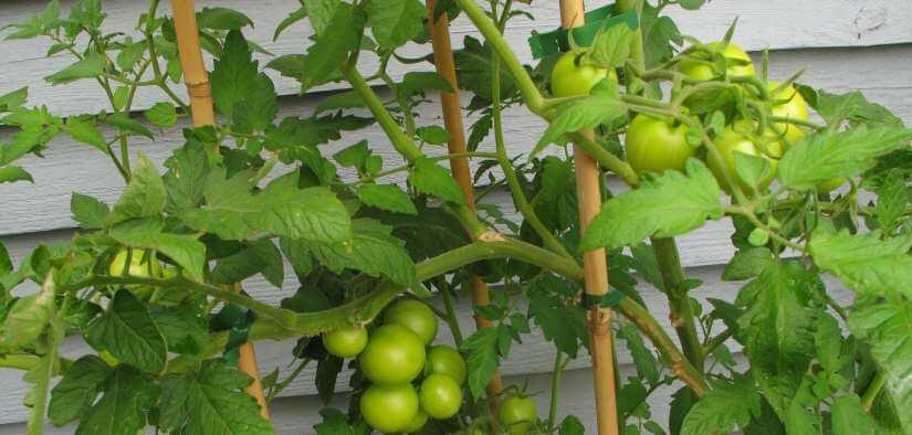 tomat opbinding