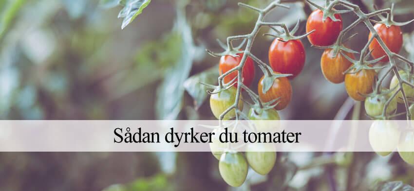 tomat dyrkning