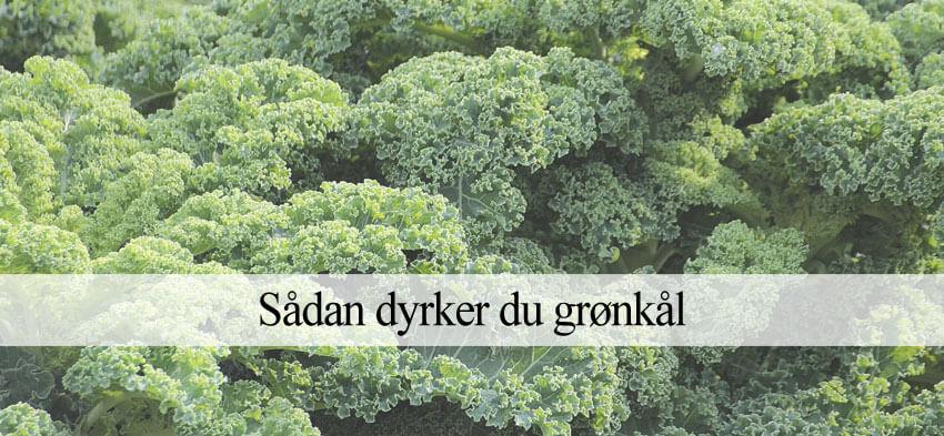 Grønkål dyrkning