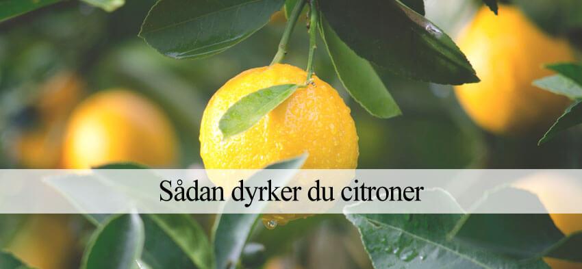 dyrkning af citrontræer og citroner