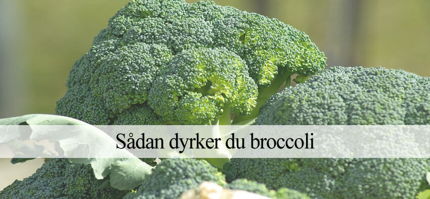 dyrke broccoli