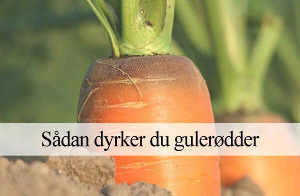dyrkning af gulerod