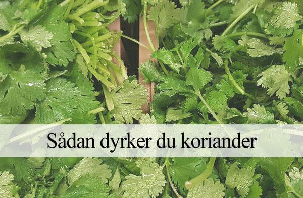 dyrke koriander