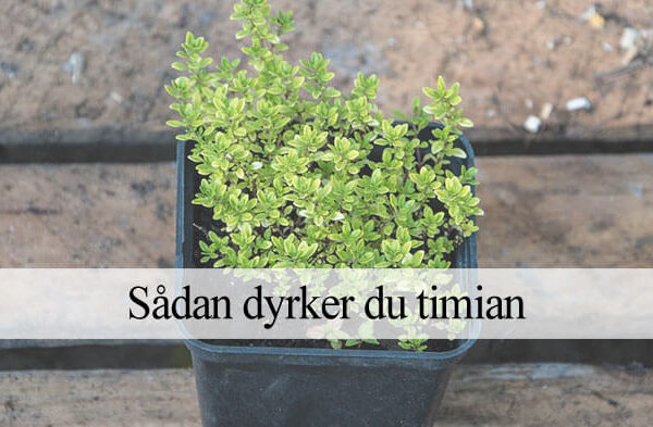 dyrke timian