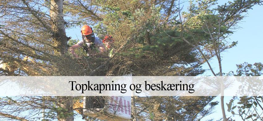 topkapning træ
