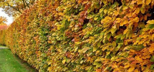 Bøgehæk i efteråret