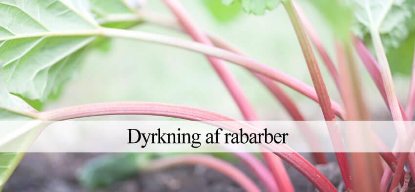 Rabarber dyrkning