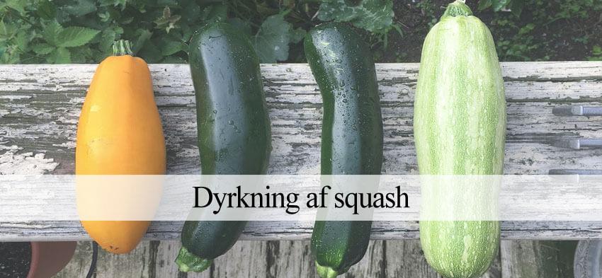 dyrke gule og grønne squash