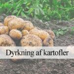 kartorfel dyrkning