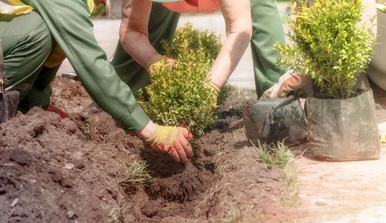 plantning af buksbom