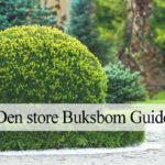 Buksbom guide