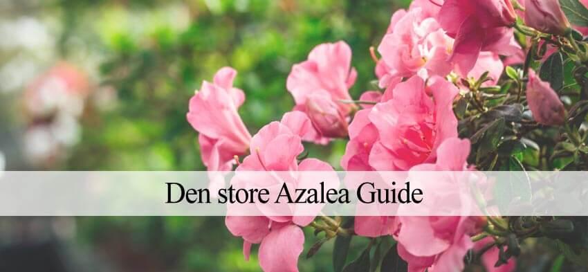 azalea jord
