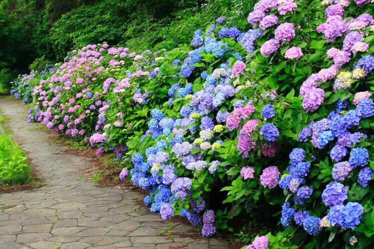 hortensia i flere farver