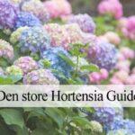 hortensia plantning
