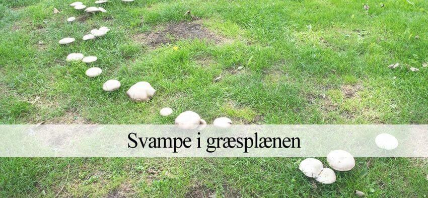 græsplæne svampe