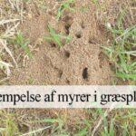 fjerne myrer i græsplæne