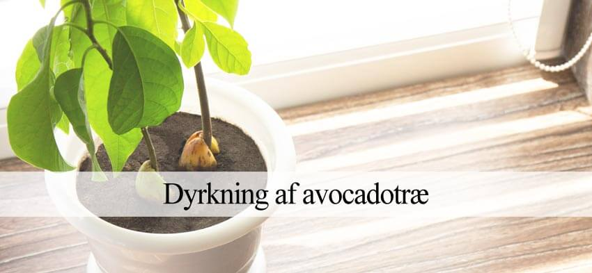 avocadotræ dyrkning