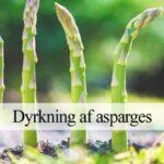 asparges dyrkning