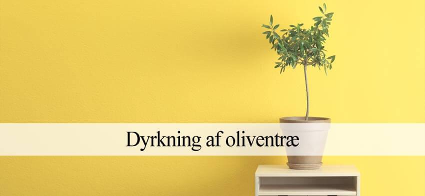 oliventræ dyrkning