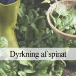 spinat dyrkning