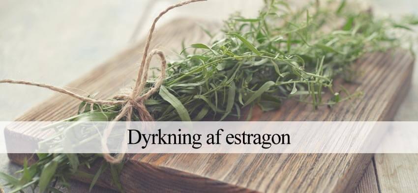 estragon dyrkning