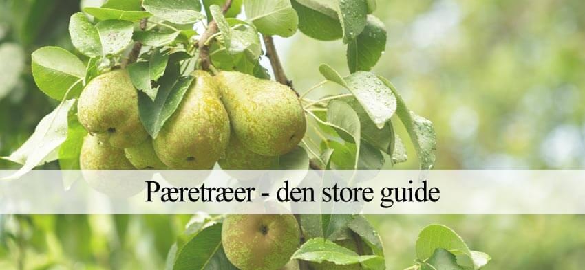 pæretræ plantning guide