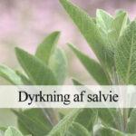 Salvie dyrkning