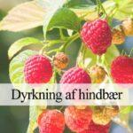 hindbær dyrkning